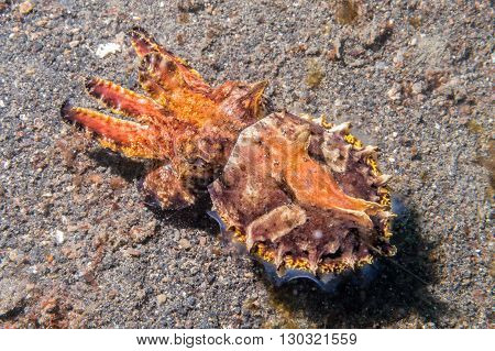 Colorful Squid Cuttlefish Flamboyant Underwater