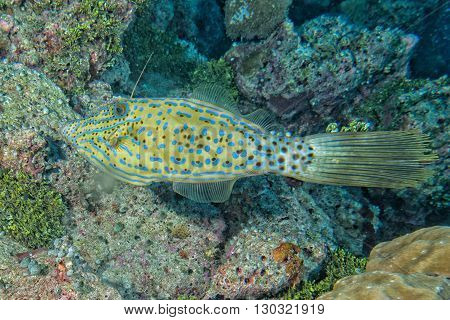 Harlequin Filefish
