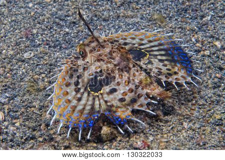 Flying Gurnard Dactylopterus Volitans Fish Underwater