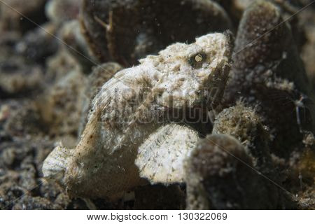 White Scorpion Fish