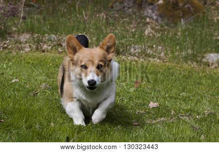 a welsh corgi approaching the camera man