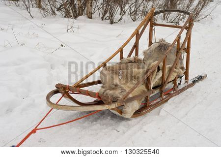 Isolated Sled Dog In Lapland In Winter Time