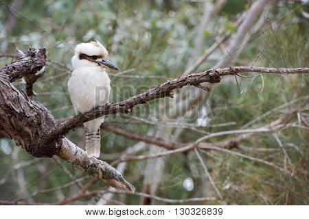 Kookaburra Australia Laughing Bird Portrait