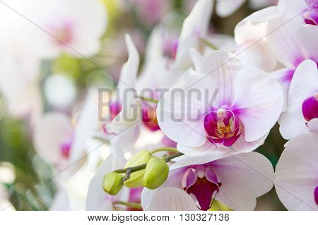 White phalaenopsis orchid flower in the garden