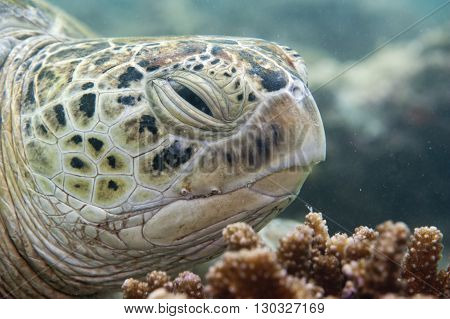Green Caretta Turtle Close Up Portrait While Looking At You