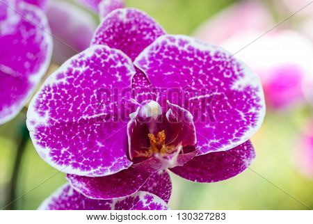 Purple phalaenopsis orchid flower in the garden
