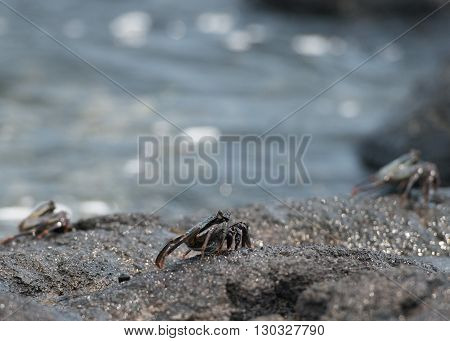 Crab On The Lava Rocks In Hawaii