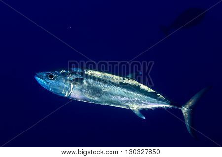 Yelllowfin Tuna Underwater