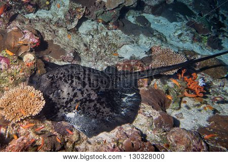 Giant Blackparsnip Stingray Fish Eye Detail