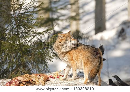 Wolf Eating In The Snow