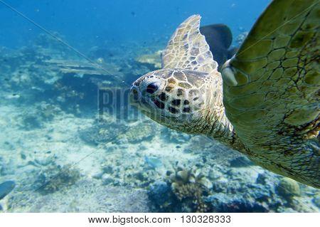 A Green Turtle Close Up Portrait In Sipadan, Borneo, Malaysia
