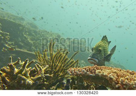 A Sweet Lips Fish In Sipadan, Borneo, Malaysia
