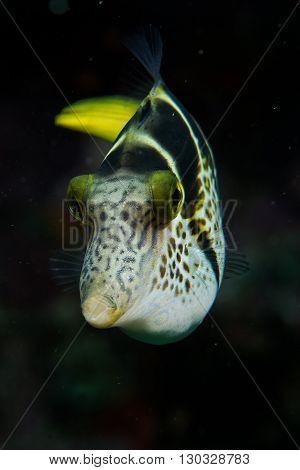 Box Fish In Night Dive