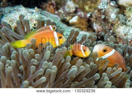 Clown Fish Inside Green Anemone