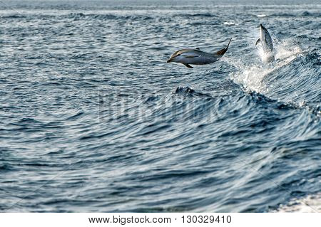 Dolphins While Jumping In The Deep Blue Sea