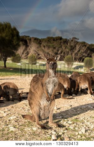 Kangaroos Portrait With Rainbow Background
