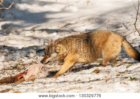 Wolf Eating And Hunting On The Snow