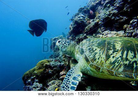 A Turtle Close Up Portrait In Sipadan, Borneo, Malaysia