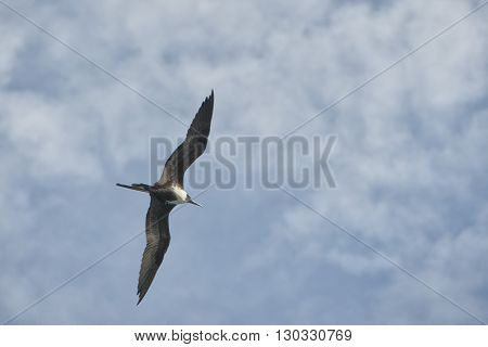 Gannet Bird While Flying