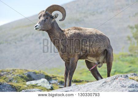 Male Big Horn Portrait