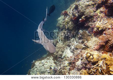 Reef Shark Jaws Ready To Attack Underwater Close Up Portrait