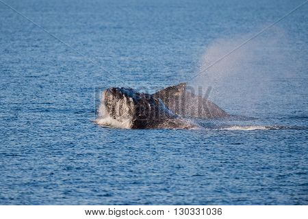 Humpback Whales Swimming In Australia
