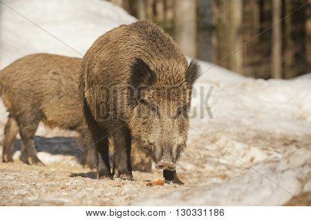 A Wild Pork Isolated In The Snow While Looking At You