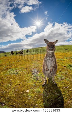 Kangaroo Looking At You On The Grass