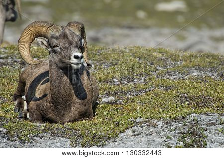 Big Horn Sheep Portrait While Looking At You