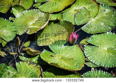 Beautiful purple water lily - Nymphaeaceae - in the garden pond. Seasonal natural background. Beauty in nature. Aquatic herb.