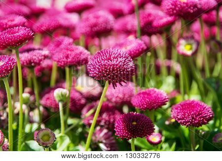 Pink English daisies - Bellis perennis - in spring park. Detailed seasonal natural scene. Bellasima rose. Close up nature. Vibrant color.