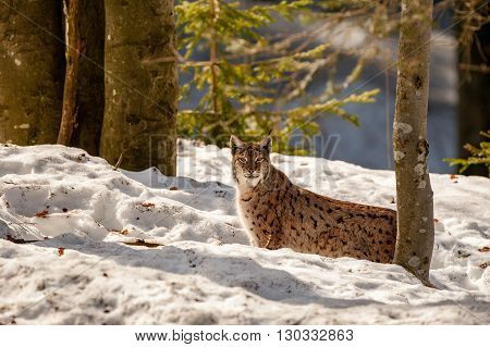 Lynx On The Snow Background