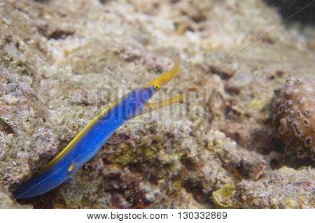 A Yellow And Blue Eel Moray In Sipadan, Borneo, Malaysia