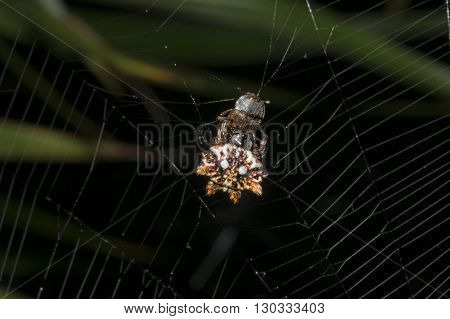 Tropical Spider With Its Prey