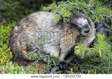 Rocky Mountains Canadian Marmot Portrait