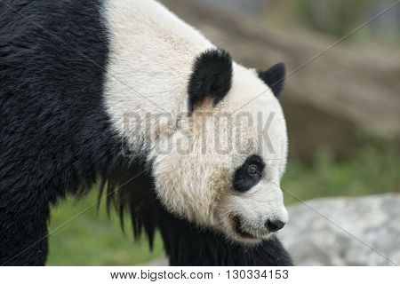Giant Panda While Coming To You