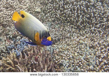 A Colorful Adult Imperator Angel Fish In Sipadan, Borneo, Malaysia
