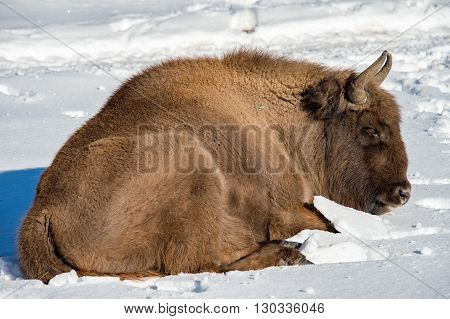 European Bison Relaxing On Snow