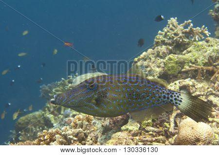 Harlequin Filefish In Sipadan, Borneo, Malaysia