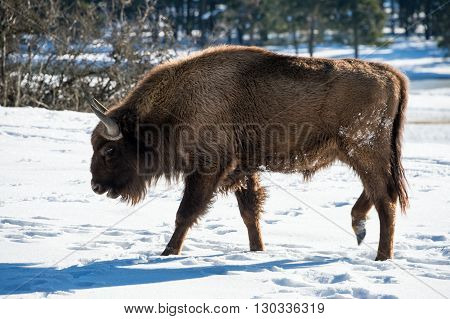 European Bison On Snow Background