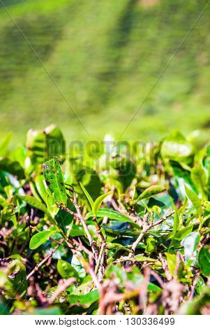 Tea Bush Leafs Close Up