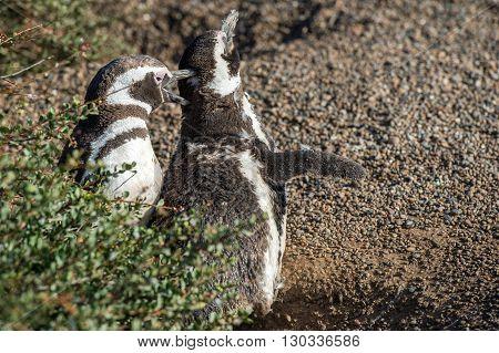 Patagonia Penguin Close Up Portrait