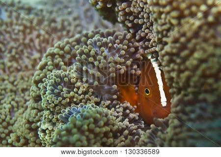 Isolated Clown Fish Portrait While Looking At You