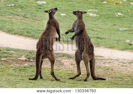 Two Male Kangaroo While Fighting