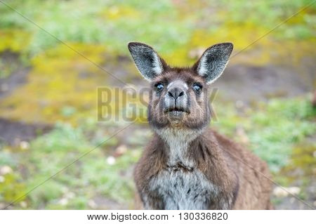 Kangaroo Portrait While Looking At You