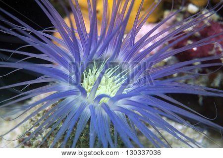 An Isolated Light Blue Sea Worm Like An Underwater Flower