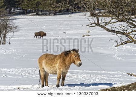 Mongol Horse On Snow Background