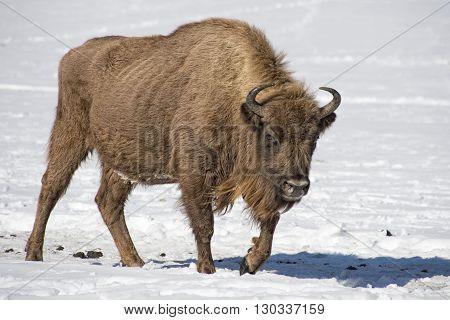 European Bison Portrait On Snow Background