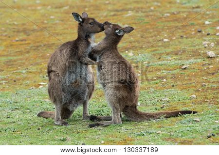 Mother Kangaroo While Kissing Its Baby