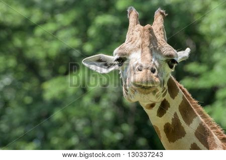 Isolated Giraffe Close Up Portrait While Looking At You From House